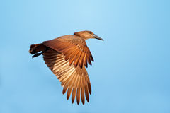 Hamerkop bird in flight Royalty Free Stock Images