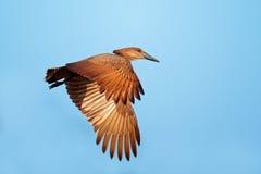 Hamerkop bird in flight Royalty Free Stock Images