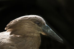 Hamerkop Bird over black background Stock Image