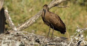 Hamerkop bird preening - South Africa