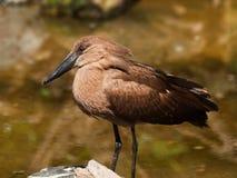 Hamerkop bird wading in water Royalty Free Stock Photo