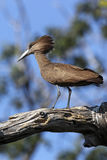Hamerkop - Botswana. Hamerkop in Chobe National Park in Botswana Royalty Free Stock Images