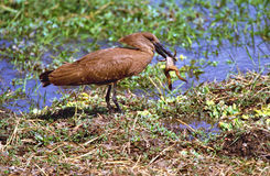 Hamerkop catching a frog in Kruger National Park Royalty Free Stock Photography