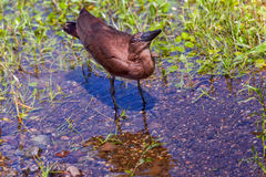 Hamerkop Drinking Royalty Free Stock Photos