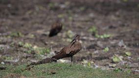 Hamerkop en la hierba que mira alrededor