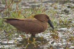 Hamerkop. Feeding in water in Kruger National Park, South Africa Stock Images