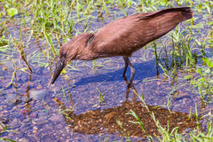 Hamerkop Fishing Stock Image