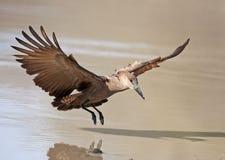 hamerkop in flight. Royalty Free Stock Photo