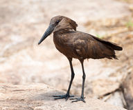Hamerkop from front Stock Photography