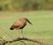 Hamerkop by the Gambia River Stock Photo