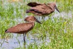 Hamerkop Hunting In Water stock photography