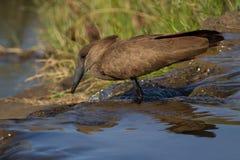 Hamerkop, Madikwe Game Reserve royalty free stock images