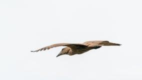 Hamerkop in mid flight Royalty Free Stock Photo