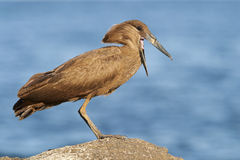 Hamerkop next to Lake Malawi Stock Images