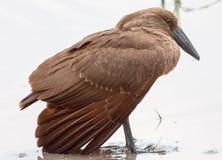 Hamerkop ptasia pozycja w wodzie Obraz Royalty Free
