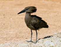 A Hamerkop, scopus umbretta Stock Photos