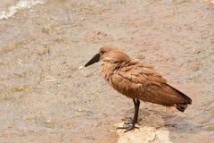 Hamerkop Scopus Umbretta fågel i Sydafrika Fotografering för Bildbyråer