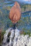 Hamerkop (Scopus umbretta) Royalty Free Stock Image