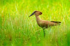 Hamerkop, Scopus umbretta, in the green grass. wet season in Africa. Brown bird in the nature habitat. Wildlife scene from Moremi, royalty free stock photo