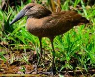 Hamerkop (Scopus umbretta). Hunting on Victoria lake Royalty Free Stock Photo