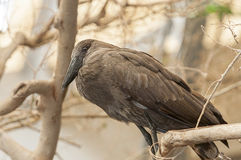 Hamerkop (Scopus umbretta) Royalty Free Stock Image