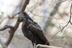 Hamerkop (Scopus umbretta) Stock Photography