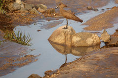 Hamerkop, scopus umbretta, at top of stone Stock Image