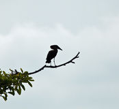 Hamerkop Silhouette Stock Photography