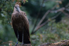 Hamerkop Stock Photos