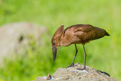 Hamerkop Studying Stick Royalty Free Stock Photography