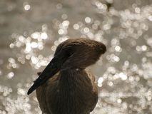 Hamerkop. With sun glistening off water behind Royalty Free Stock Photography