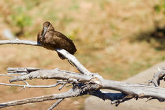 Hamerkop in Thought royalty free stock photography