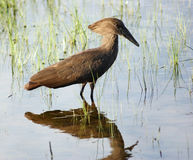Hamerkop in Uganda Stock Photo