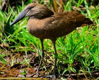 Hamerkop (umbretta Scopus) Стоковое фото RF