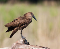 Hamerkop upright on branch Stock Image