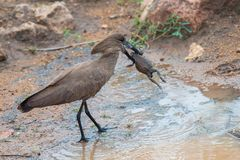 Hamerkop vs The Toad 03 royalty free stock photography
