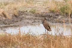 Hamerkop by water. Hamerkop (Scopus umbretta) standing alone by waterhole, Okavango Delta, Botswana stock images