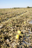 Hami melon cropland. Was taken in inner mongolia of china,the hami melon cropland stock photo