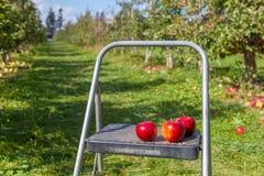 Hamilton, CANADÁ - 14 de octubre de 2018: Manzanas rojas maduras en árboles adentro fotos de archivo libres de regalías