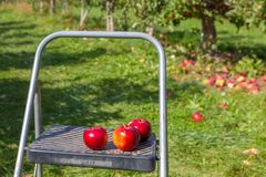 Hamilton, CANADÁ - 14 de octubre de 2018: Manzanas rojas maduras en árboles adentro fotos de archivo