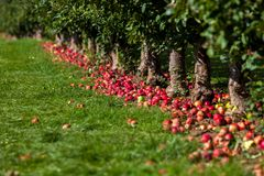 Hamilton, CANADA - October 14, 2018: Ripe red apples on trees in stock photography