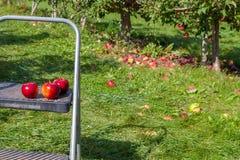 Hamilton KANADA - Oktober 14, 2018: Mogna röda äpplen på träd in royaltyfria foton