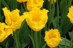 Hamilton Tulip Stock Images