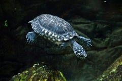 Hamiltonii noir de Geoclemys de tortue d'étang Images stock
