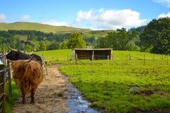 Hamish, η αγελάδα ορεινών περιοχών, σε Kilmahog, Σκωτία στοκ φωτογραφίες