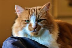 Hamish le portrait de Ginger Cat Images stock