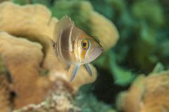 Hamlet barrado, recife de corais dos peixes imagem de stock