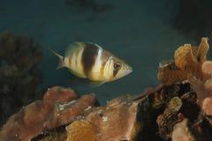 Hamlet interdit nageant au-dessus de Coral Reef Photos stock