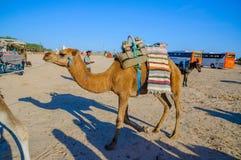 HAMMAMET,突尼斯- 2014年10月:独峰驼骆驼在2014年10月7日的撒哈拉大沙漠 图库摄影