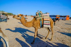 HAMMAMET, TUNISIA - Oct 2014: Dromedary Camel in sahara desert on October 7, 2014 Stock Photography